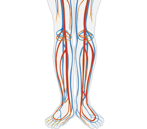 Human circulation diagram of the feet and legs